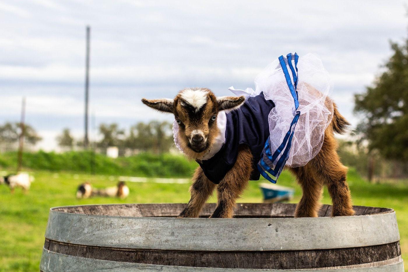 baby goat 1.jpg