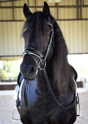 horseforsaleaustintexas