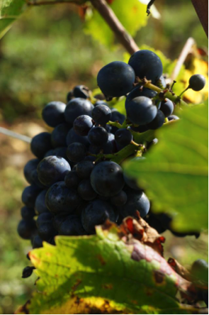 Pinot Noir Grapes from Domaine Michel Lafarge in Volnay