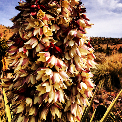 Yucca Bloom