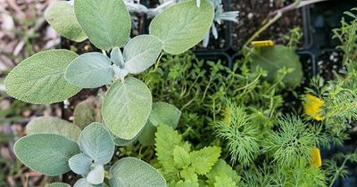 herb transplants.jpg