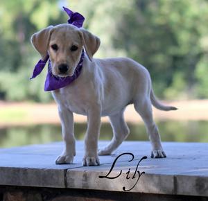 lily1b.jpg