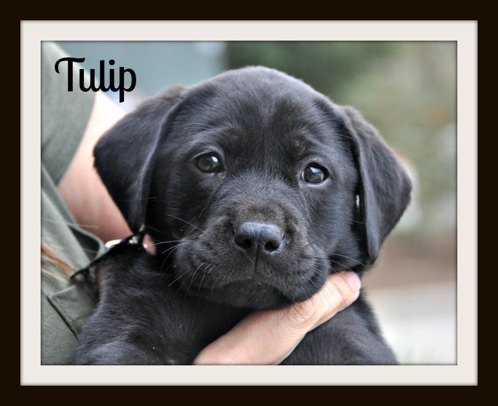 0251 Tulip 2-14cvr.jpg