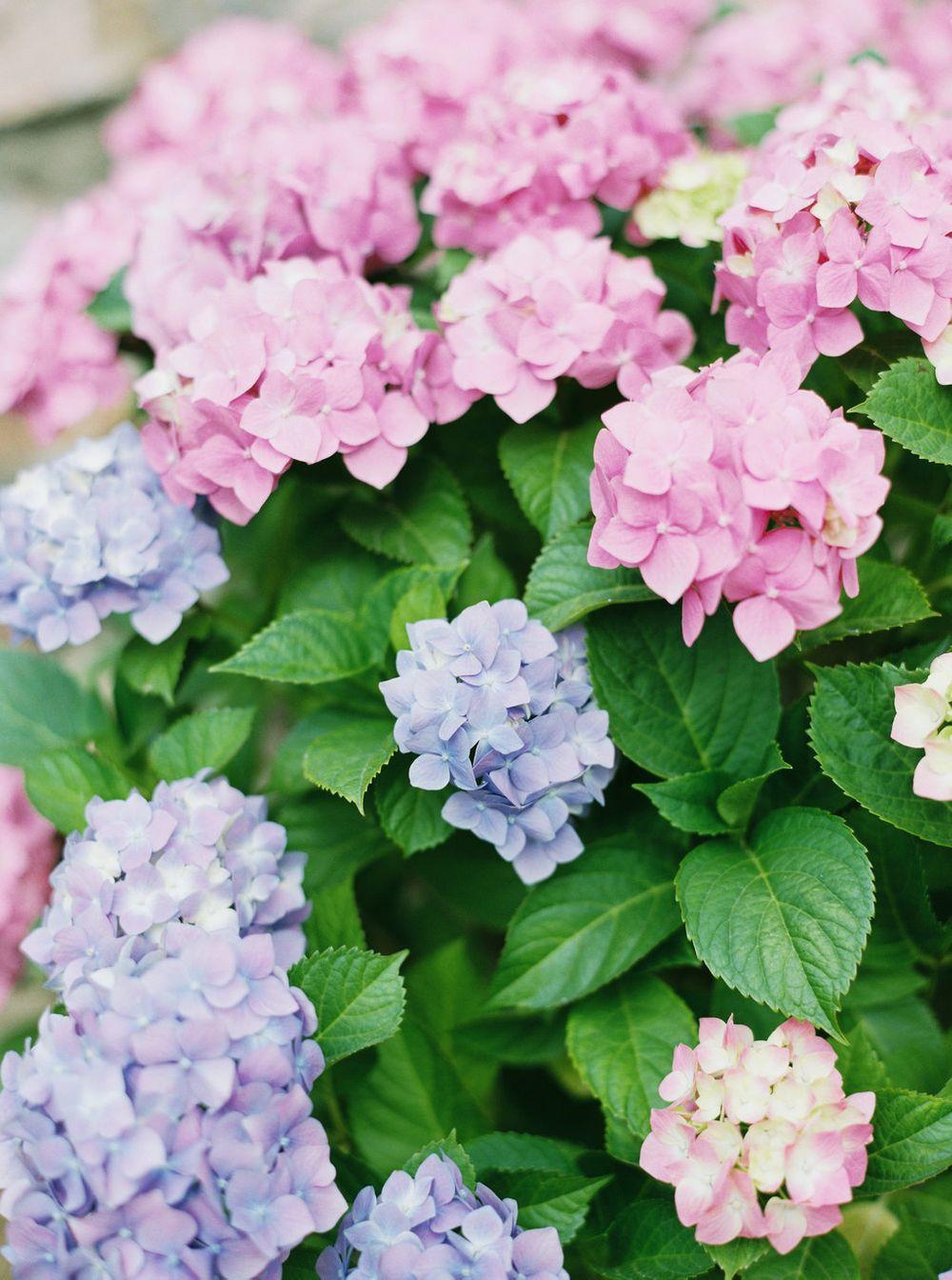 the prettiest hydrangeas