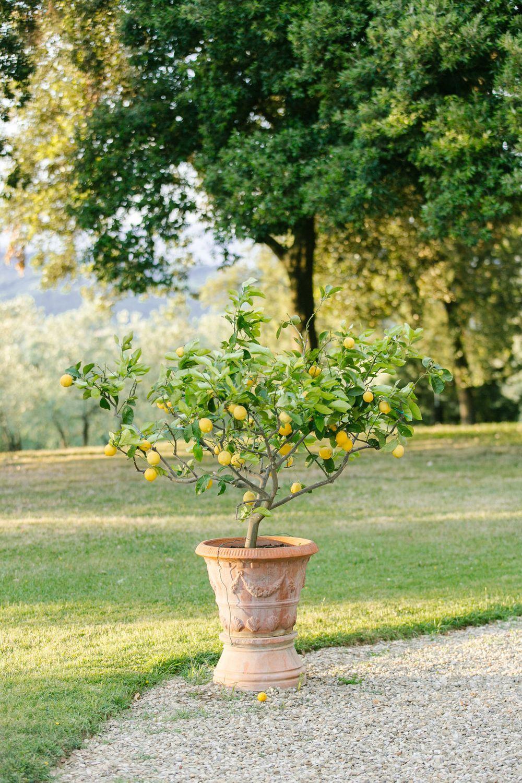 lemon trees everywhere in florence