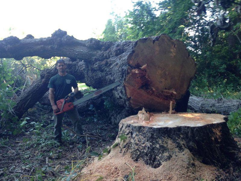 Massive tree removal service