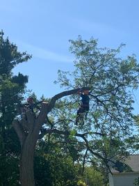 Climber trimming tree