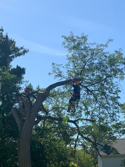 Climber trimming tree