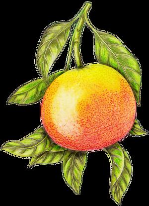 grapefruit1.png