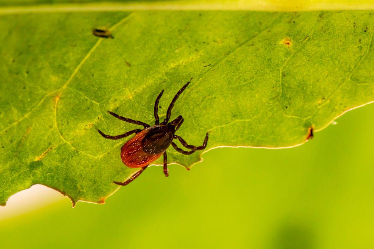 Lyme disease tick.jpg