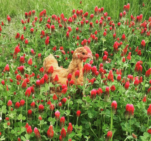 chicken flowers.JPG