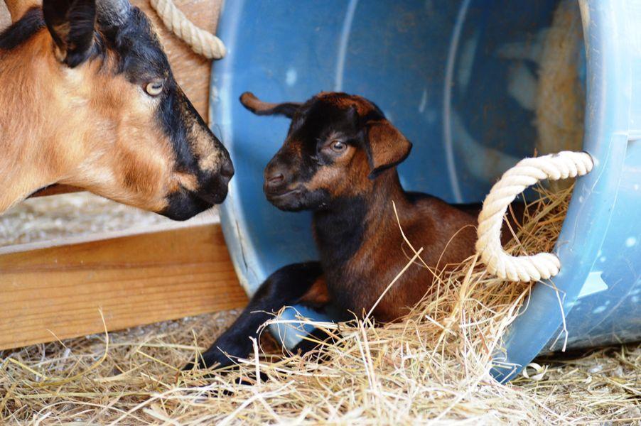 goats 1.jpg