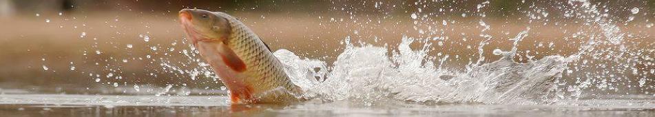 carp jumping 1.jpg
